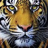 pcmdaily.com/images/avatars/tiger[86386].jpg